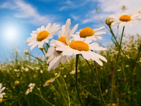 Silence, camomiles and blue sky by spring.  Stock Photo