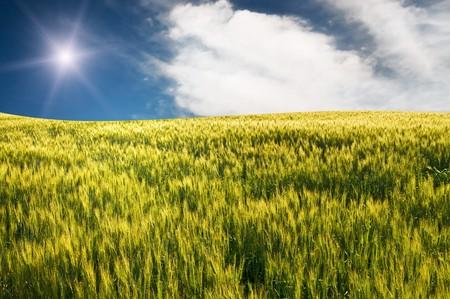 Fun sunbeams above green field of wheat. Stock Photo - 7256781