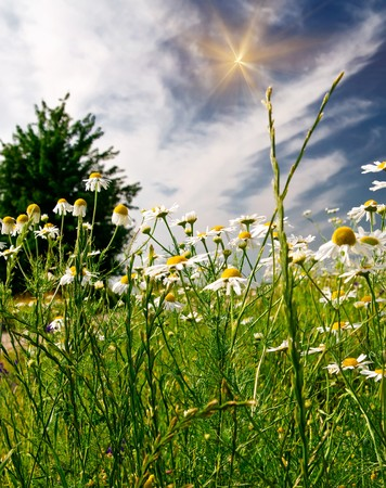 Beautiful camomiles against blue sky. photo