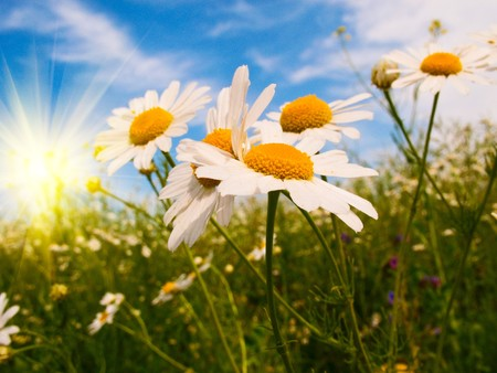 Wonderful camomiles against blue sky background. Stock Photo - 7293531