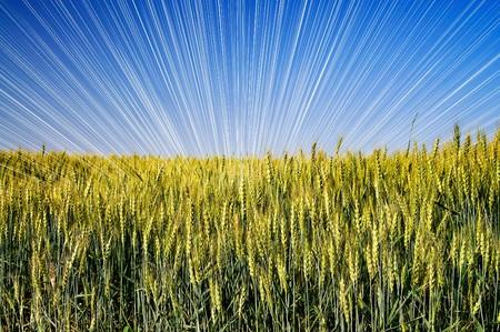 Wonderful field of green wheat. Stock Photo - 7293550