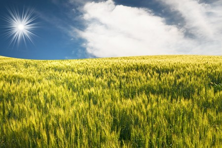 Fun sunbeams above green field of wheat.