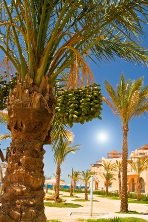 Date palm branch with green unripe dates and sun. photo