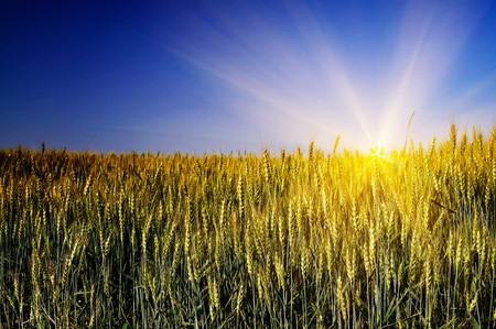 Green wheat and beautiful blue sky. Stock Photo - 7306305