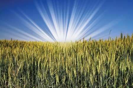Sunrise and  field of wheat early morning by summer. Stock Photo - 7306307