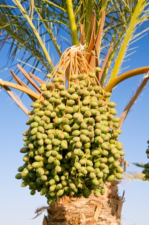 Date palm with bunches of unripe dates.   photo