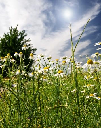 Silence camomiles and blue sky. Stock Photo - 7351389
