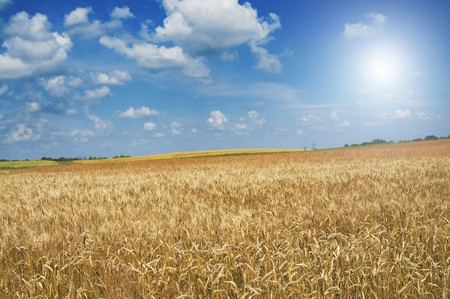 Beautiful golden field of ripe wheat by summer. 版權商用圖片