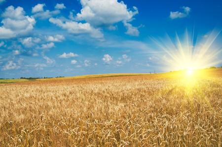 hay field: Campo giallo stupefacente di frumento.