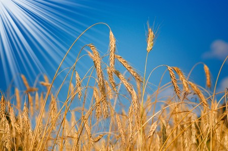 Wonderful golden wheat and fun sunbeams by summertime.  photo