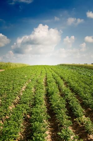 Champ de pommes de terre par saison estivale.