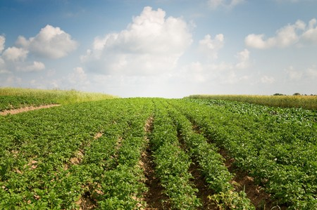 Landscape of potato plantation. photo
