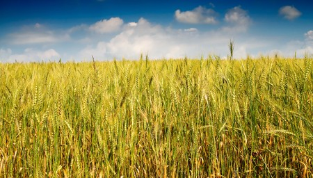 Golden wheat against blue sky with clouds. Stock Photo - 7441366