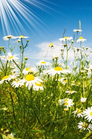 soleil rigolo: Soleil amusant et merveilleuses camomiles sur fond de ciel bleu.