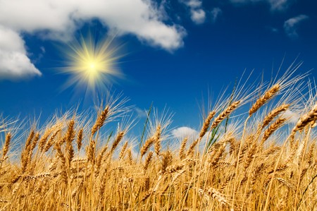 Wonderful, ripe wheat against blue sky background.