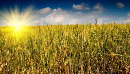 Summer landscape of wheat field. photo