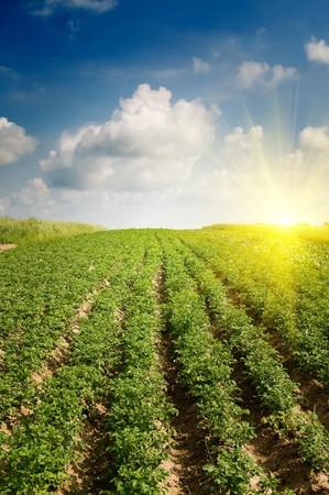 Paysage de plantation de pommes de terre.  Banque d'images