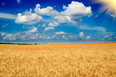 stubble field: Amazing yellow field of wheat and fun sun in the sky. Stock Photo