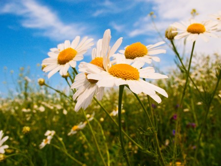 Beautiful camomiles against blue sky background. Stock Photo - 7477330