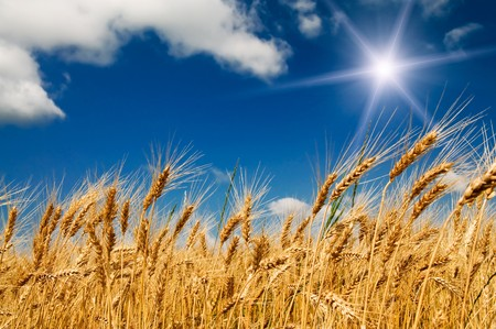 Ripe wheat under blue sky and fun sun. Stock Photo - 7556316