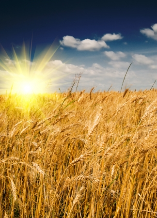 hay field: Cornfield in summer rural landscape and fun sun in the blue sky. Stock Photo