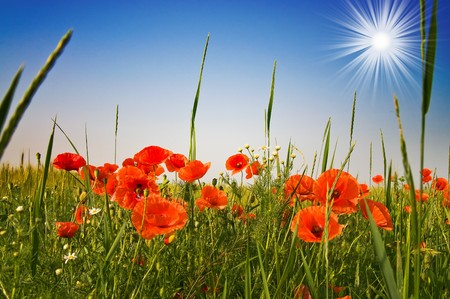 Red poppies and blue sky with sunbeams early morning by summer.