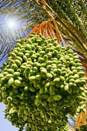 Date palm with bunches of dates.    photo