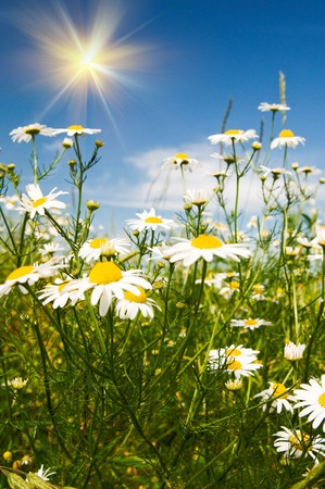 Wonderful camomiles against blue sky background. Stock Photo - 7681542