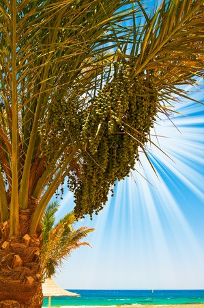 Date palm with bunches of dates and fun sun.  photo