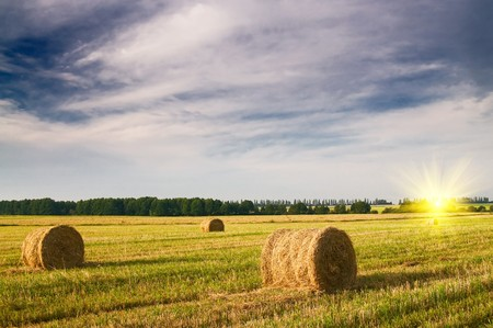 Field full of bales against tender sun in the blue sky. 