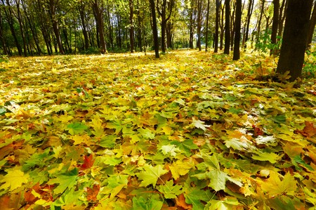 autumn leafs: Wonderful autumnal grove.  Golden fallen leaves on the land.