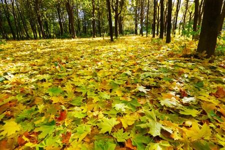 in september: Wonderful autumnal grove.  Golden fallen leaves on the land.