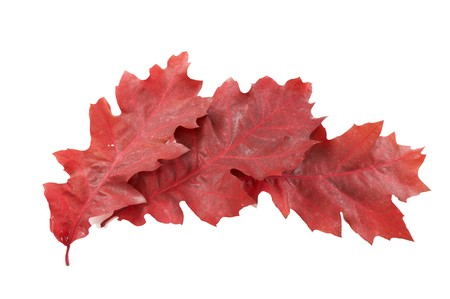 Three red oak leaves isolated on a white background. Stock Photo - 8163519