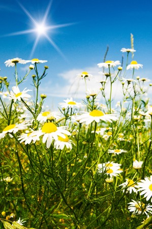 Wonderful camomiles against blue sky background. photo