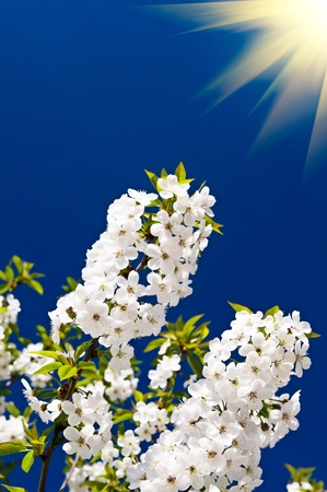 Wonderful  sunbeams and blooming cherry branch by  springtime. photo