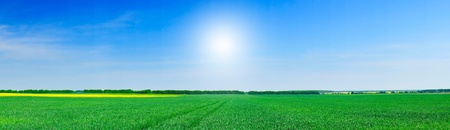 unripened: Panoramic view of green field of wheat and gold colza  by springtime.        Stock Photo