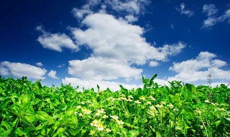 Field of clover and  several camomiles by summer day. Stock Photo - 9631491