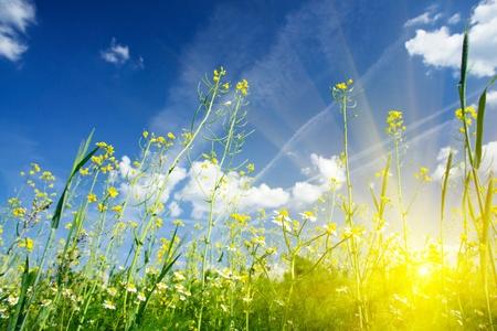 against the sun: Camomiles field against the blue sky and fun sun.