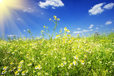 Field of wonderful daisy flowers on a summer day. Stock Photo - 9668700