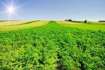 Champ de Nice de pommes de terre et de plaisir du ciel en p�riode estivale.
