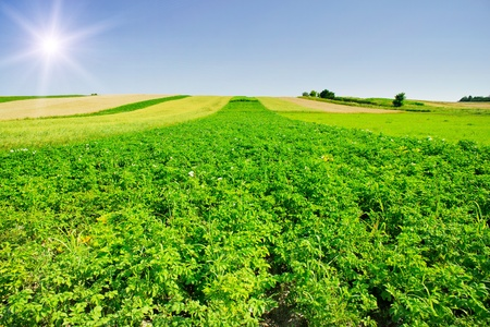 Nice potato field and fun sky by summertime.