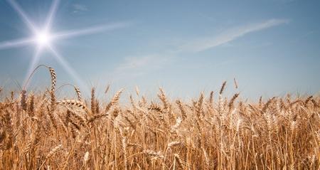 full grown: Summer field with full grown golden grain.