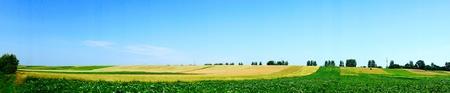 Panorama of wonderful potato plantation.          photo