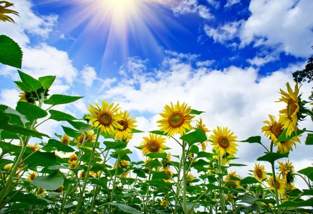 Amazing , fun sunflowers against blue sky.