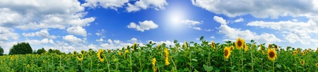 Wonderful  panoramic view  field of sunflowers by summertime. Imagens