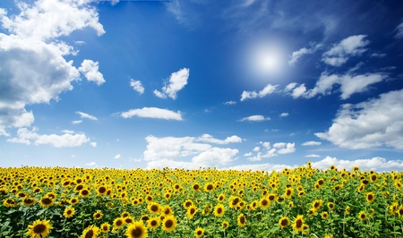 Sunflowers field by summertime. Stock Photo