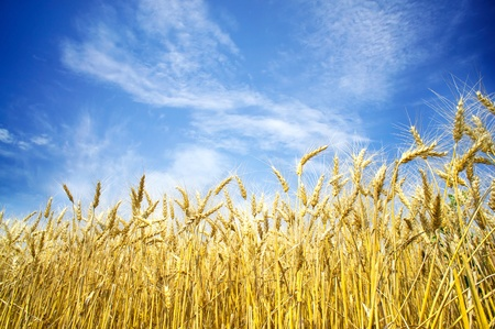 Summer view of ripe wheat. Stock Photo