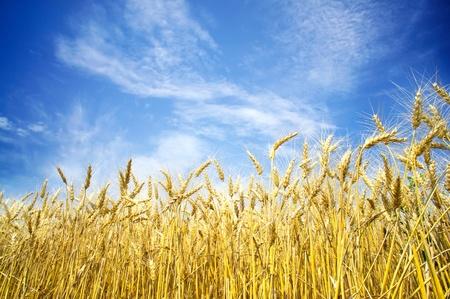 Summer view of ripe wheat. Stock Photo