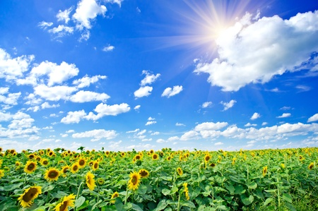 Fine summer field of sunflowers and sun in the blue sky.