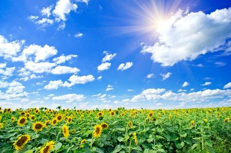 �t� sur le terrain amende de tournesols et de soleil dans le ciel bleu. Banque d'images